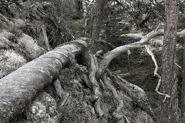 Trädstam, Starrberget