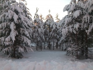 Snöiga granar