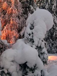 Liten gran övertäckt av snö